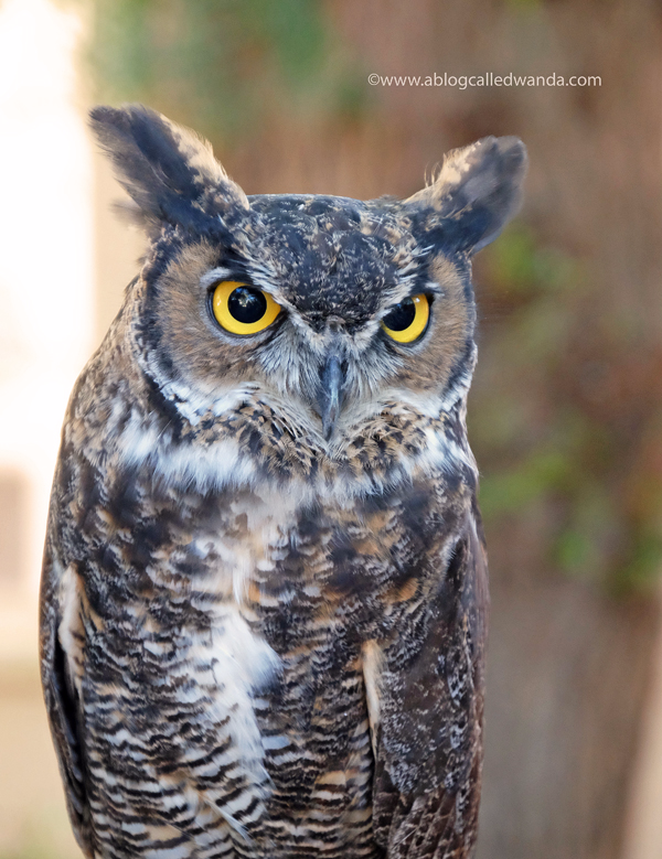 Great Horned Owl - California Raptor Center