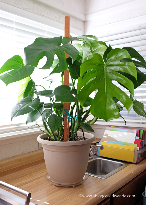 Monstera Deliciosa Split Leaf Philodendron plant