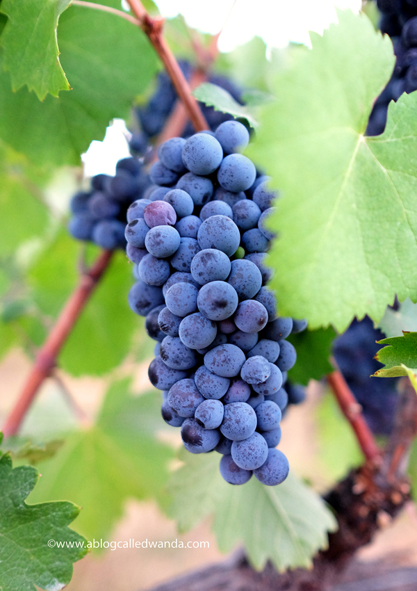 Naggiar Vineyards Grapes 1