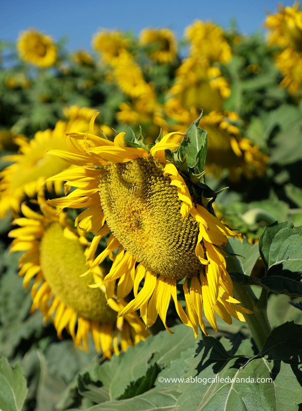 sunflower pictures. Woodland, Davis, Dixon California