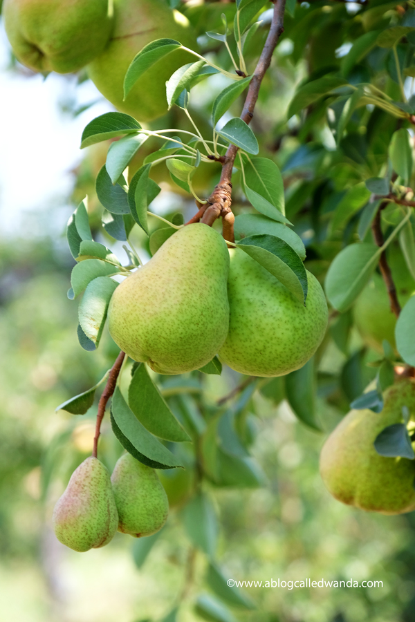 California pear orchards near Sacramento