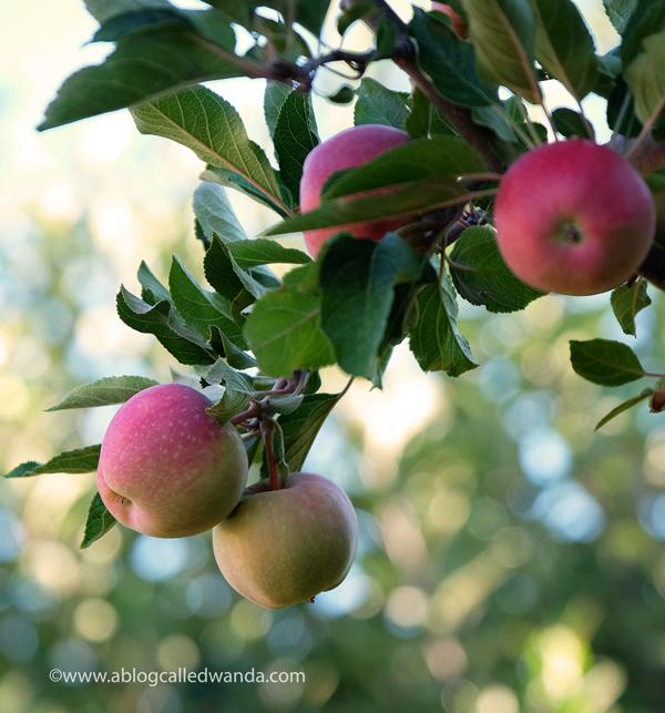 Apple orchard california