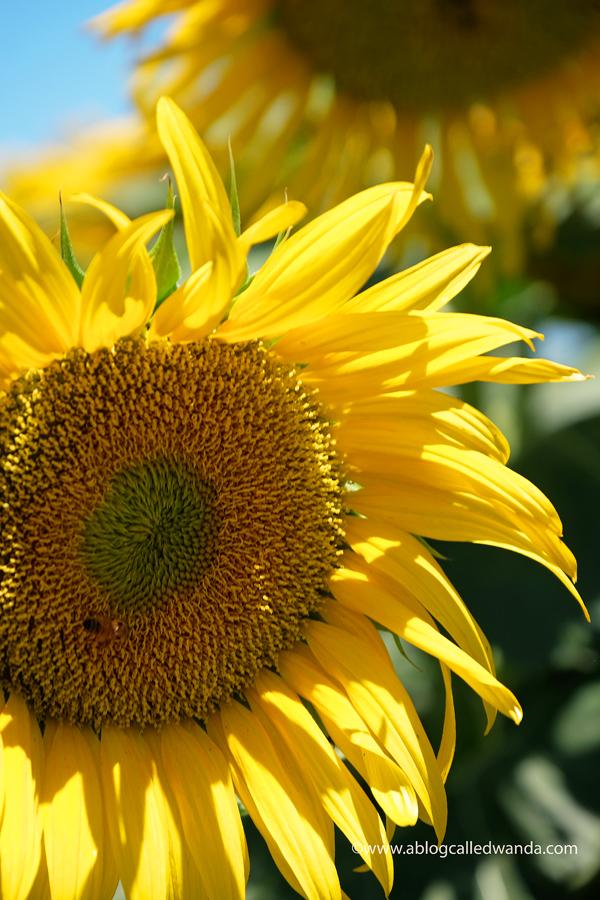 sunflowers of California. Photos