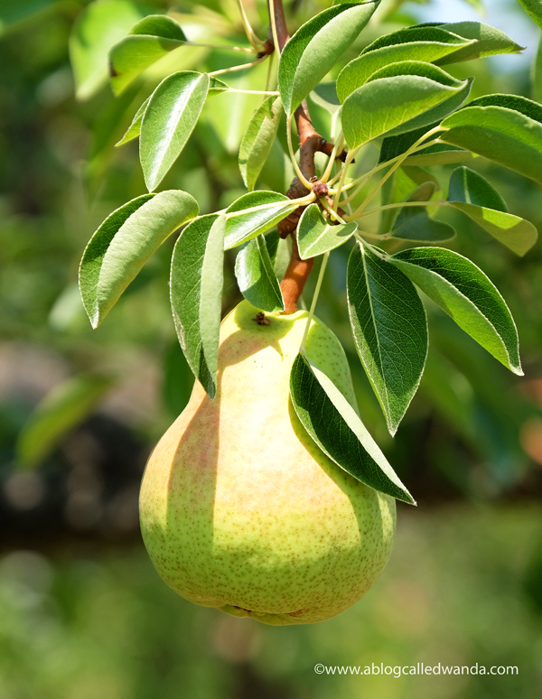 Northern California pear orchards