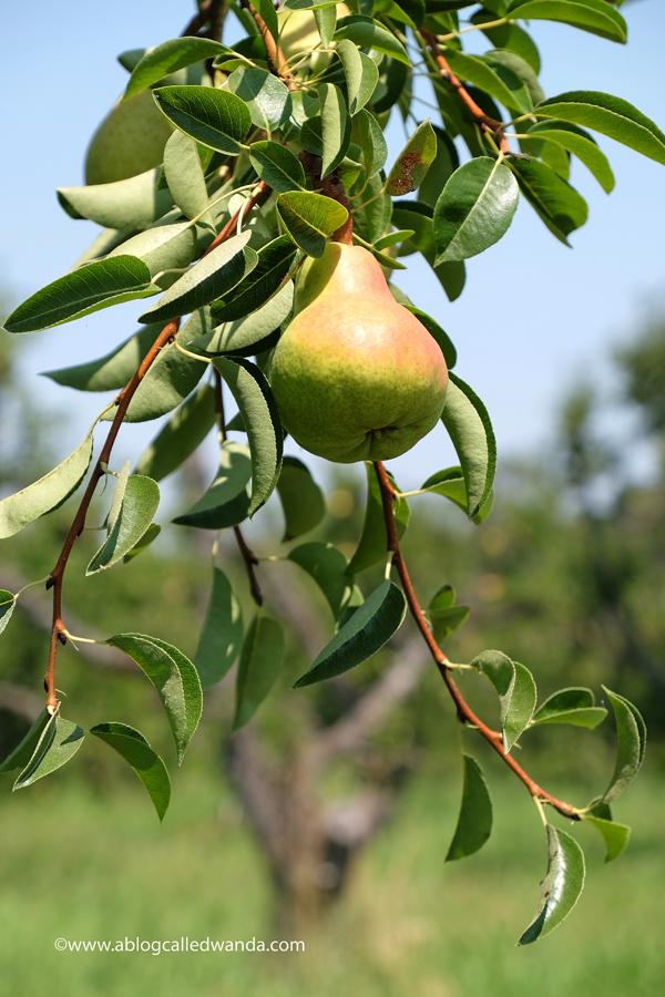 California organic pears Steamboat Acres