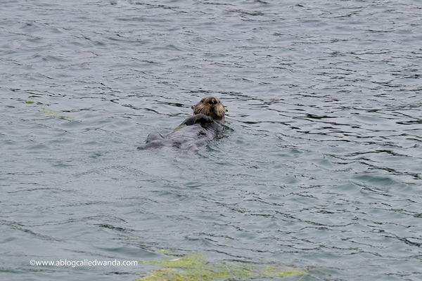 Sea otters Moss Landing California