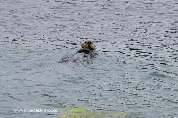 Sea otters Moss Landing California