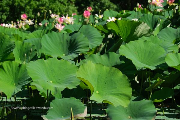 william land park, lotus bloom, sacred lotus, water lotus, sacramento, pond, tall lotus, photos of lotus flowers, sacramento things to do, sacramento parks, wanda guess