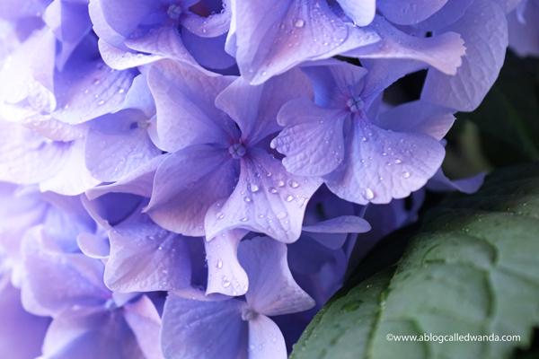 Nikko Blue Hydrangeas in California